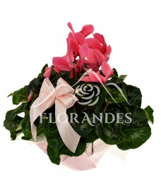 Cyclamen roz