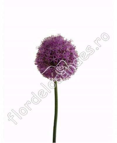 Allium mov