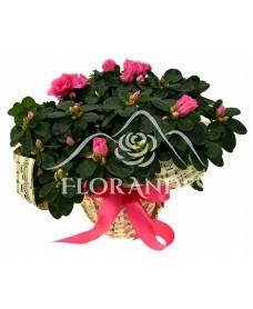 Azalee roz