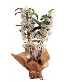 Orhidee dendrobium alba la ghiveci