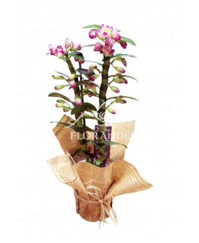 Orhidee dendrobium mov la ghiveci