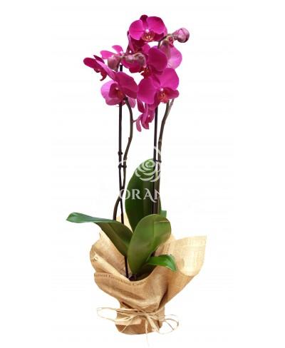 Orhidee phalaenopsis ciclam la ghiveci