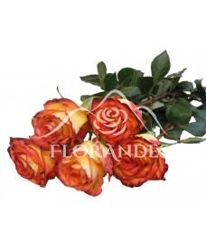 Trandafiri bicolori High&Magic