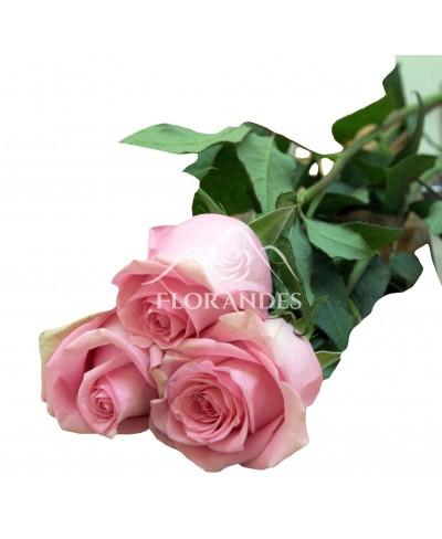 Trandafiri roz Fussion