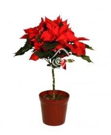 Poinsettia (Craciunita) inalta
