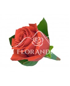 Cocarda din trandafir rosu