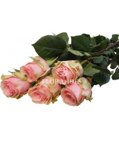 Trandafiri roz Geraldine