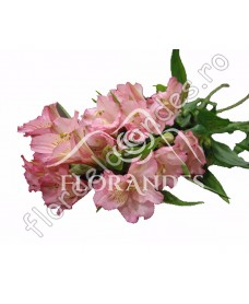 Alstroemeria roz