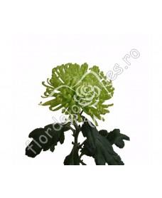 Crizantema verde