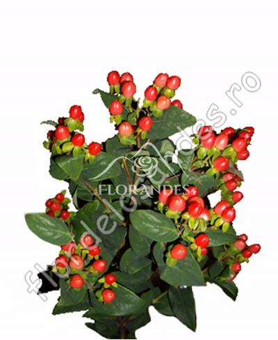 Hypericum rosu