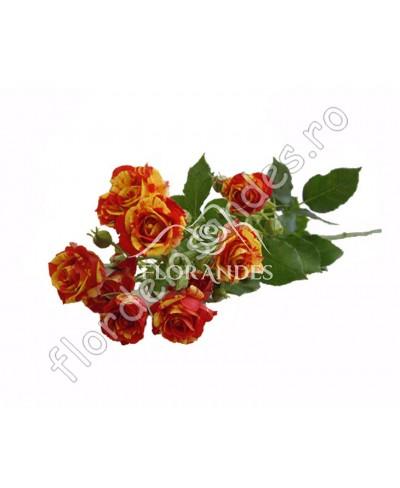 Minitrandafiri bicolori