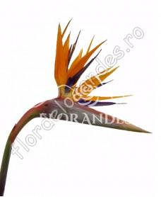 Strelitzia portocalie