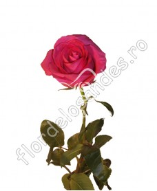 Trandafiri ciclam Topaz