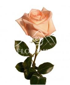 Trandafiri roz Engagement