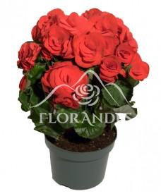 Begonia rosie