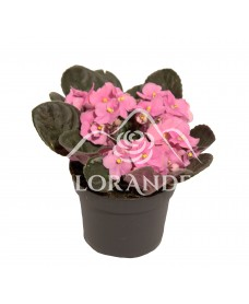 Saintpaulia roz