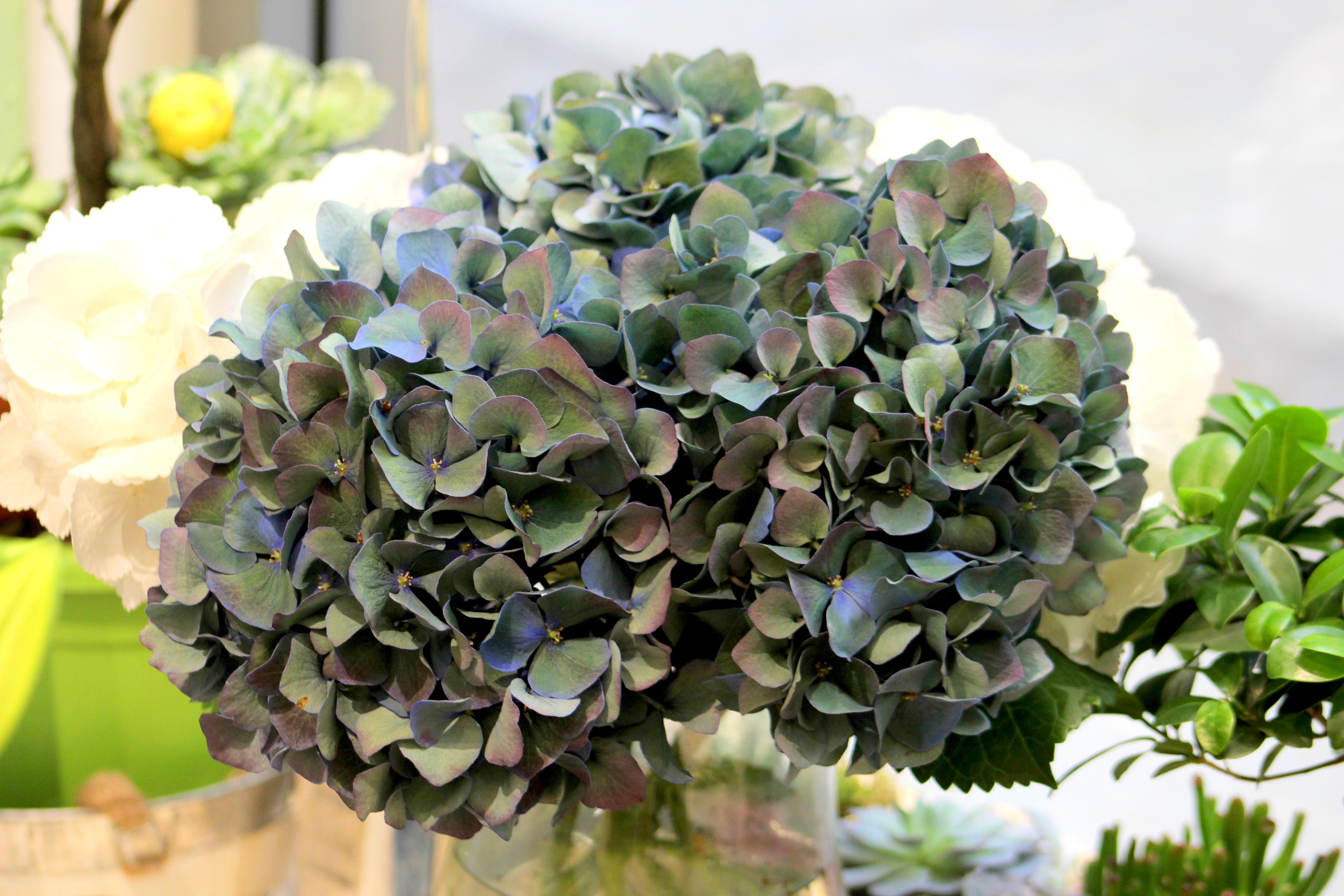 Hortensia, cea mai populara floare de vara