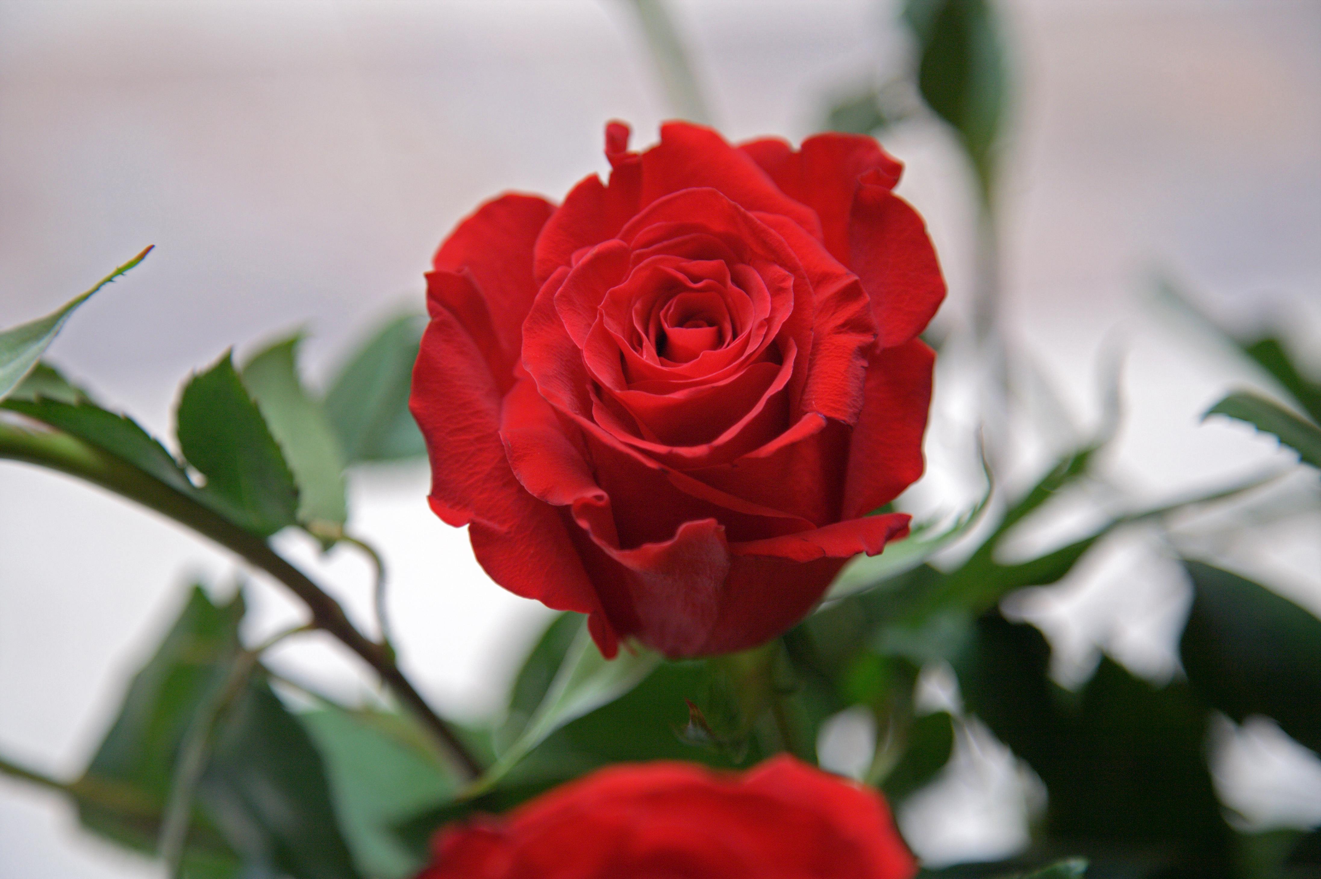 Comanda buchete de trandafiri pentru zile de nastere