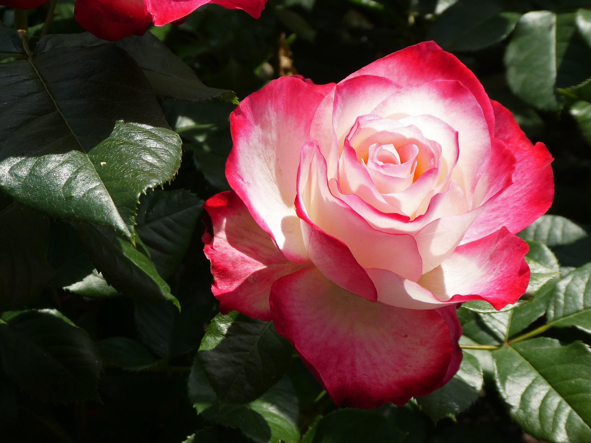 Ce inseamna trandafiri premium