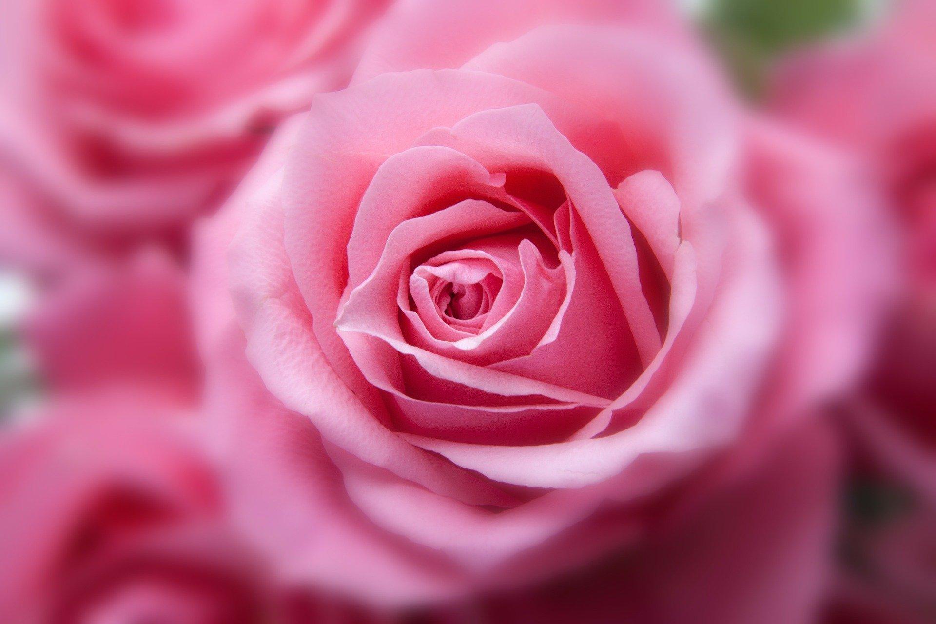 Ce ganduri poti sa transmiti atunci cand oferi trandafiri roz?